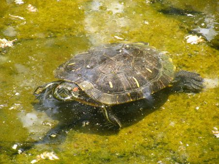 800px-Defensive_turtle