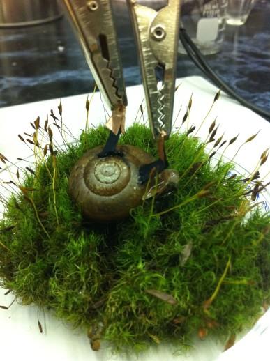 cyborg snail electricity biofuel